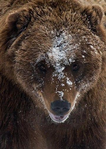 Frosty Bear Jody Overstreet